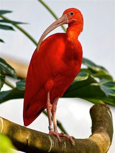 Scarlet Ibis (the bird of the Star of the Tarot -- actually the Magician in disguise)