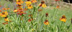 Flowering for months thru' summer and autumn, Helenium's