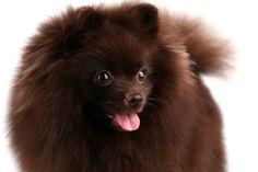Pomlicious Pomeranians Yuriko