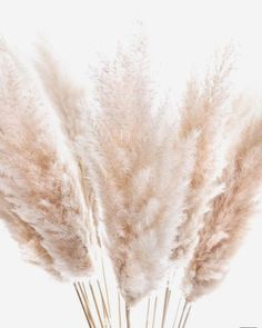 Pampasgras – getrocknet natur bestellen Dried pampas grass radiate warmth and cosiness with their fl Aesthetic Backgrounds, Aesthetic Wallpapers, Passion Deco, Beige Wallpaper, Cream Aesthetic, Boho Wedding Decorations, Dried Flowers, Fresh Flowers, Spa Logo