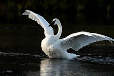 Trumpeter Swan with unfolded wings, Yellowstone National Park Trumpeter Swan, Toy Dog Breeds, National Parks Usa, All About Animals, Wild Creatures, Therapy Dogs, Big Bird, Wild Nature, Yellowstone National Park