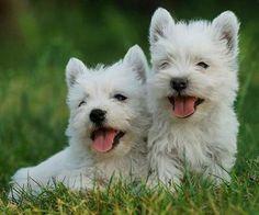 Las 10 razas de perros pequeños más populares | PERROSPEDIA
