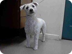 Pasadena, CA - Poodle (Miniature) Mix. Meet BENJI, a dog for adoption. http://www.adoptapet.com/pet/17277470-pasadena-california-poodle-miniature-mix