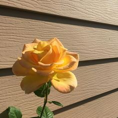 I have always loved yellow roses - they look so sunny & like love...