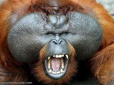 Fat monkey is fat. funnymonkeysite.com
