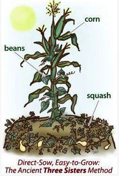 Three sisters method for planting corn, beans, and squash