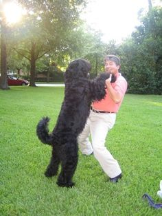 Black Russian Terrier.  Basically a huge Scotty.  How cool!