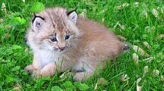 This fluff ball is lynx kitten.