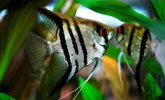 Le scalaire, poisson ange de nos aquariums d'eau douce.... Étant donné l'espace qu'il lui faut, prévoyer un espace et un budget suffisant pour correspondre à ses besoins. Très territorialiste, une fois qu'ils sont installés dans un bac, il est difficile de faire rentrer de nouveaux poissons quelque soit l'espèce.