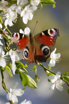 """Butterfly: Inachis io """"Peacock"""" (Europe)"""