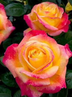 when do hybrid tea roses bloom All Flowers, Pretty Flowers, Flowers Drawn, Yellow Roses, Pink Roses, Orange Yellow, Yellow Rose Tattoos, Rose Trees, Rosa Rose
