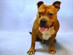 GINO - A1095476 - - Brooklyn  Please Share:TO BE DESTROYED 11/09/16 **AVERAGE RATED – ON PUBLIC LIST** -  Click for info & Current Status: http://nycdogs.urgentpodr.org/gino-a1095476/
