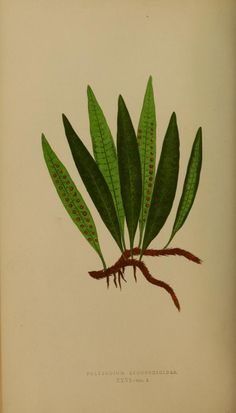 Polypodium Licopodioides, From West Indies, American Meridian, Island of Mauritius, Martinica, Jamaica, and Hispaniola, Ferns: British and exotic v.2 London, Groombridge and Sons,1856-60. Biodiversity library. Biodivlibrary. BHL. Biodiversity Heritage Library