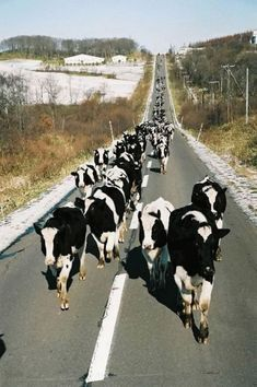 Here come the cows.