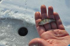 Wędkarstwo podlodowe, ice fishing ind Poland. www.wedkarstwo.lucio.pl http://www.youtube.com/wedkowanie
