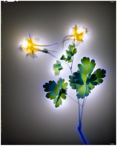 Golden Columbine 2004 -   Photographer Robert Buelteman Shocks Flowers With 80,000 Volts Of Electricity
