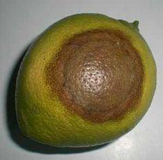 phitophora fruto limonero Avocado, Fruit, Food, Patio, Gardens, World, Drip Irrigation, Fungi, Natural Medicine