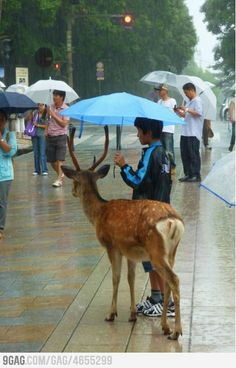 A kid sharing his umbrella with a deer (in Japan) We need more people in the world like this!