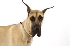 Great Dane | Great Dane Neapolitan Mastiff Saint Bernard Black Russian Terrier