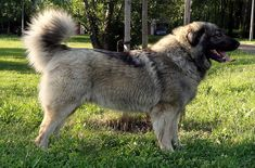This livestock-guarding breed was developed in the mountainous regions of Macedonia.