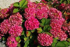 Így lesz sikeres a hortenzia gyökereztetése I Balkonada Hydrangea Varieties, Seaside Garden, Hydrangea Macrophylla, Foundation Planting, Lavandula Angustifolia, Plant Needs, Hedges, Compost, Perennials