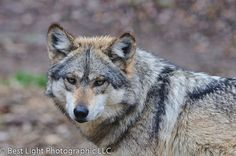 Wildlife - Mexican Wolf