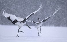 Wild cranes of the Hokkaido Island in Japan. Photograph by Vincent Munier