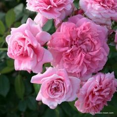 'Zaide' Hybrid Tea Rose.  T. Kordes, Germany 2006