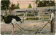 Farming at the Ostrich Farm in Hot Springs, Arkansas, unknown date  AHC_G2698.88