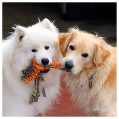 Leo the Samoyed and Jake the Golden sharing their favorite toy! Thanks to…