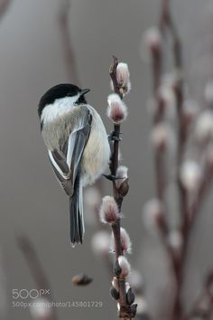 Black-capped Chickadee by TroyEcol. Please Like http://fb.me/go4photos and Follow @go4fotos Thank You. :-)