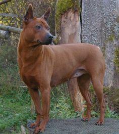 Thai ridgeback photo | Thai ridgeback dog