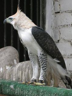 **FACTOID: The Harpy Eagle is the largest, most powerful eagle in the world.