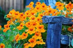 Nasturtium-plant near squash plants to keep beetles away. These remind me of my grandmother. Summer Garden, Lawn And Garden, Love Flowers, Beautiful Flowers, Squash Plant, Xeriscaping, My Secret Garden, Edible Flowers, Edible Garden
