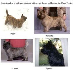 Occasionally a brindle dog darkens with age as shown by Duncan, the Cairn Terrier.