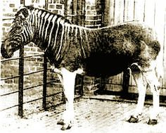 Only one Quagga was ever photographed alive and only 23 skins are preserved today. - The quagga was the first extinct animal to have its DNA analysed,  this 1984 study launched the field of ancient DNA analysis.- The test confirmed that the quagga was more closely related to zebras than to horses.Quaggas became extinct at the end of the 19th century.