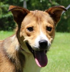 ncelot Dog • Border Collie & Basenji Mix • Adult • Male • Medium Companion Pet Rescue - New England Watertown, CT