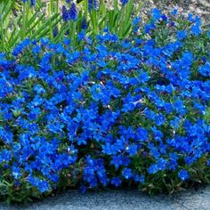 This Lithodora is an evergreen carpeting perennial that produces bright royal blue, star shaped flowers over a long period. These pretty bloom smother the mats of evergreen foliage from late spring in to summer. With such a long flowering period, Litho Flower Garden Plans, Flowers Garden, Deeper Shade Of Blue, Garden Express, Ground Cover Plants, Blue Flowers, Cascading Flowers, Blue Hydrangea, Exotic Flowers