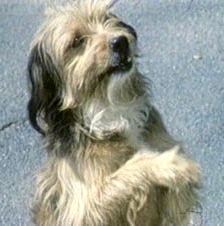 famous dogs - Benji