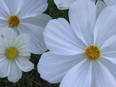 Close-up shot of white beauties from the garden