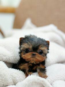 micro teacup yorkie puppy - / - - Bookmark Your Local 14 day Weather FREE >… Small Puppies, Cute Puppies, Dogs And Puppies, Cute Small Dog Breeds, Fluffy Puppies, Little Puppies, Micro Teacup Yorkie, Teacup Dogs, Teacup Animals