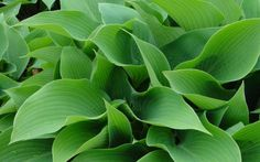 Give your hosta some love this week