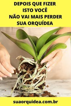 Orquideas Cymbidium, Orchids, Flora, Garden, Plants, Manual, Cabana, Cactus, How To Replant Orchids