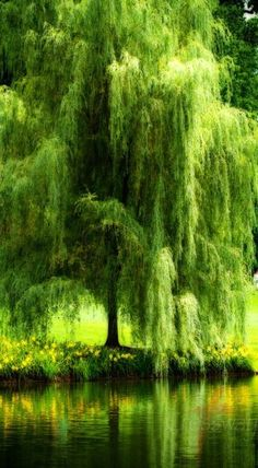 Trendy weeping willow tree photography nature water Ideas Trendy weeping w Weeping Willow, Willow Tree, Weeping Trees, Nature Water, Nature Tree, Flowers Nature, Beautiful World, Beautiful Places, Tree Photography