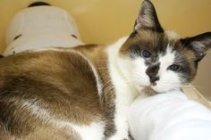 Aspen is an adoptable Snowshoe/Siamese Mix in East Hanover, NJ! She's available through Mt. Pleasant Animal Shelter! See her page for adoption information!