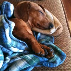 Doxies kind of get used to pillows and blankets...and demand it when it is not available too! #doxie #cute #dachshund
