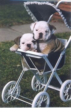 ❤ to those who love bulldogs <3
