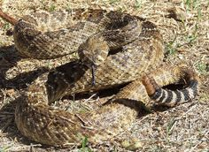 Western Diamond-backed Rattlesnake, Texas.  A very common, very aggressive snake.  Second only to the Copperhead in bites to humans.  A dangerous but very beneficial animal.
