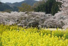 Osaka Departure] Yoshino Senbon-Sakura (Great Cherry Trees Over Mt ...