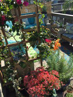 how to grow bougainvillea on a pergola